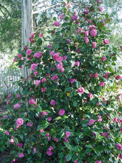 Camellia Jerry Hill