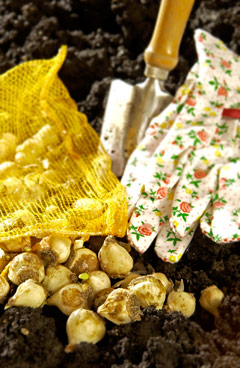 plant bulbs in fall