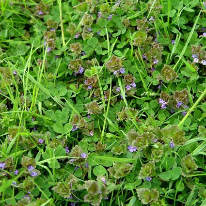 henbit and clover weeds in lawn