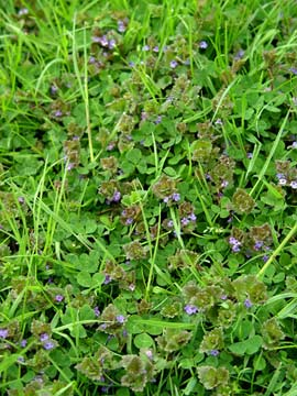 How To Get Your Weedy Lawn Back Under Control Greenview Fertilizer