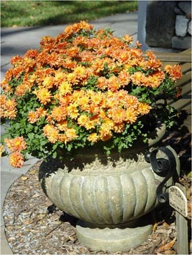 fall mum in container
