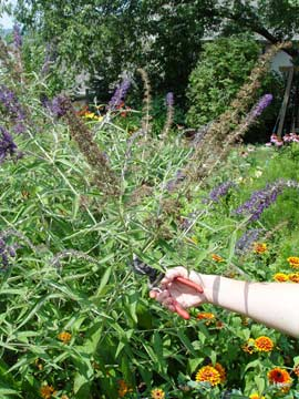Pruning a butterfly bush