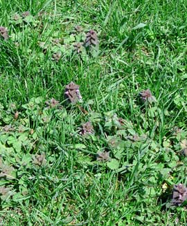 purple dead nettle in lawn