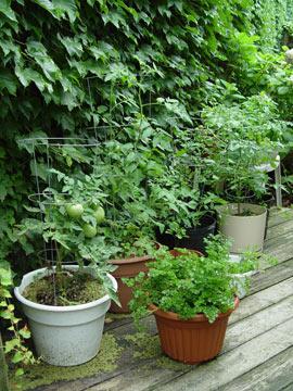 Veggie Garden In Pots
