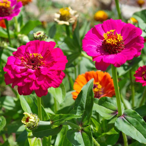 Flowers For Summer Color That Take The Heat Greenview