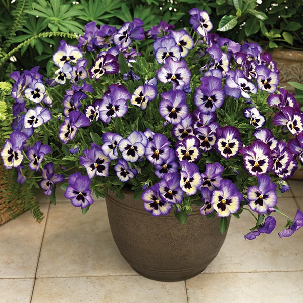 Pansies The Flower With A Face Greenview Fertilizer