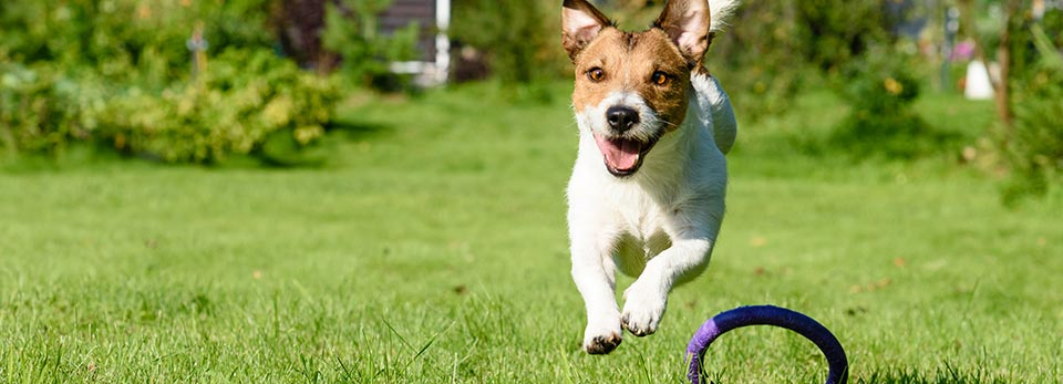 Jack Russell dog running on lawn