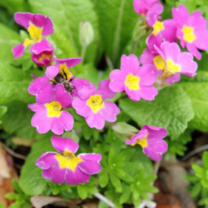 Primroses are some of the earliest flowers to bloom in spring the male and female flowers can be seen on this primula as well as an early pollinator mightylinksfo