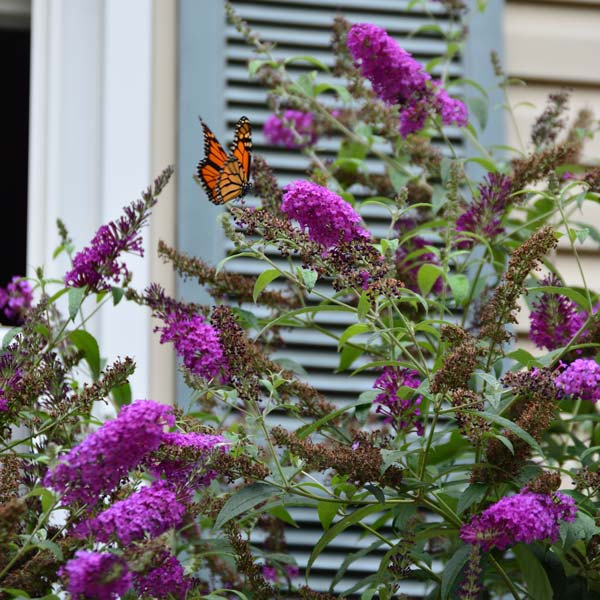 Butterfly Bushes Shorter Amp Non Invasive Varieties