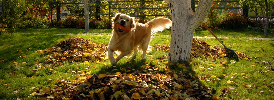Golden Retriever running on lawn